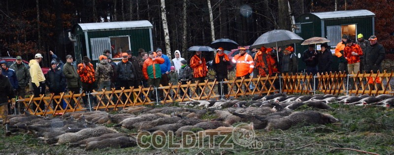 Treibjagd im Colditzer Wald