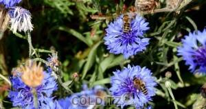Emsige Suche nach Pollen